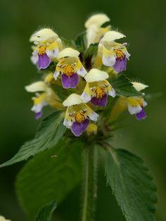 Kirjopillike - Galeopsis speciosa -huulikukkaiskasvit-vampula-fi-Jari Taivainen