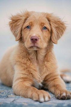Beagles, Labrador Retriever, Group, Animals, Labrador Retrievers, Animales, Animaux, Beagle, Animal