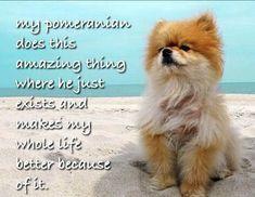 Pomeranian Facts, Toy Pomeranian, Pomeranians, Chihuahuas, Pugs, Animal Fun, Cute Animals, Cool Pets, Cute Dogs