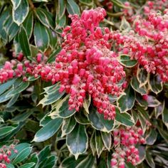 Pieris japonica Polar Passion - Passion Frost - Evergreen Lily of the Valley Shrub - Garden Plants Garden Shrubs, Flowering Shrubs, Deciduous Trees, Garden Path, Dream Garden, Evergreen Shrubs, Trees And Shrubs, Landscaping Tips, Front Yard Landscaping