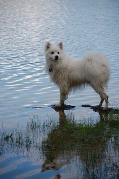 American Eskimo Dog, mine loves water and digging holes under vehicles where it is cooler because of her heavy coat