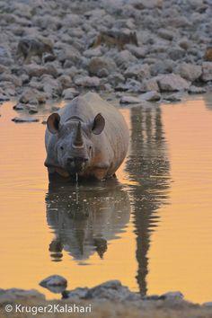 Black rhino drinking at sunset in Etosha Ap Studio Art, Game Reserve, African Safari, Rhinos, Wildlife Photography, Art Studios, Animal Drawings, National Parks, Cute Animals