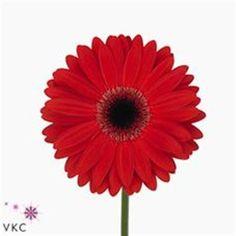 Gerbera Soho is a pretty Red cut flower. It is approx. 45cm
