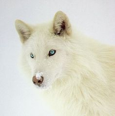 My magical journey blue eyed white wolf