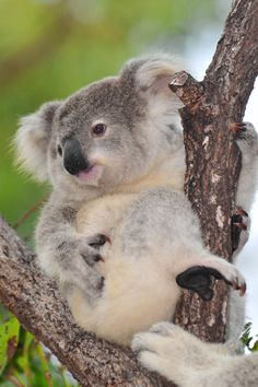 baby koala gets a helping hand on magnetic is