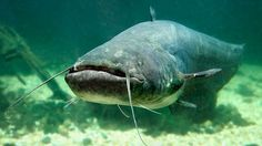 Wels-Furchteinflößend sieht er tatsächlich aus, der Wels: Mit seinem mächtigen Körper, dem großen Maul und den Bartfäden, die wie Antennen von seinen Kiefern abstehen, wirkt er wie ein Monster aus der Urzeit. Zu Recht? Im Magen der Fische fand man schon Hunde oder sogar menschliche Leichenteile – und in Ostdeutschland brach ein Wels einem Taucher, der in sein Revier eingedrungen war, die Rippen. Sind die Fische gefährliche Killer?