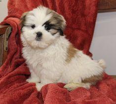 Jake, Shih Tzu Puppy