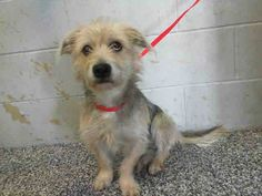 #A476474 Release date 12/11 I am a male, silver and tan Terrier mix. Shelter staff think I am about 1 year and 6 months old. I have been at the shelter since Dec 04, 2014.   City of San Bernardino Animal Control-Shelter. https://www.facebook.com/photo.php?fbid=10204079440603870&set=pb.1160364024.-2207520000.1417905608.&type=3&theater