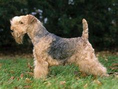 Chien Lakeland Terrier