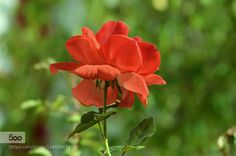 Autumn's Rose by kimeee #fadighanemmd