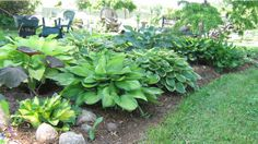 landscaping with hostas and flowers   This hosta bed was planted 3 years ago. The plants have matured nicely ...