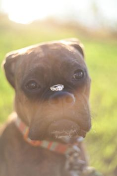 Engagement with dog/ engagement photos with dog. Ring on dog's snout.
