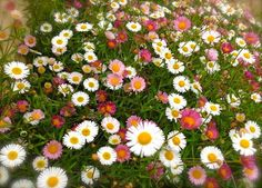 SANTA BARBARA DAISY Seeds ,Erigeron karvinskianus 'Stallone' Fast growing, heavy endless, attractive-like flowers.