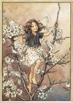 Illustration for the Blackthorn Fairy from Flower Fairies of the Winter. A girl fairy stands amongst the blossoms of the blackthorn. Author / Illustrator Cicely Mary Barker