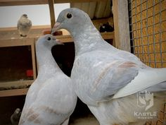 I'm so very fortunate that this recessive color has popped up in my racing homers. They are all down from my stock of Eisenhower, Golden Gaby and Black National from Mark Evans. Pigeon Pictures, Pigeon Breeds, Pigeon Loft, Pigeon Bird, Racing Pigeons, Chicken Breeds, Opal, Teaching English, Birds