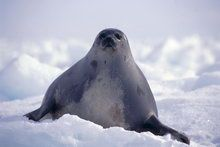 Животные Арктики и Северного полюса - Hq обои больших размеров, качественные профессиональные фотографии с высоким разрешением