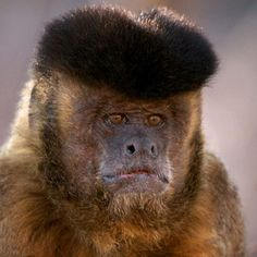 Tufted Capuchin Monkey, Piaui State, Brazil by Sean Crane. Looks like he's wearing a beret or a Russian ushanka hat. Primates, Mammals, Animals And Pets, Funny Animals, Cute Animals, Baby Animals, Beautiful Creatures, Animals Beautiful, Rare Animals