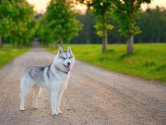 Thee most beautiful dog ever Husky Husky, Cute Husky, Most Beautiful Dogs, Animals Beautiful, Cute Puppies, Cute Dogs, Baby Animals, Cute Animals, Surfboard Art