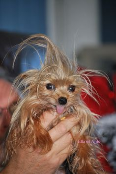 Yorkie with CRAZY hair :)