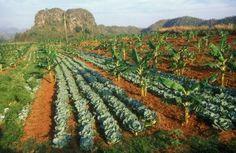 Alley cropping Aqua Farm, Soil Conservation, Farm Gardens, Permaculture, Horticulture, Cuba, Homesteading, Farmer, Landscape