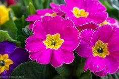 https://flic.kr/p/kmo918 | Spring Flowers | Panasonic G3 & Lumix 12-35mm f/2.8 X lens.