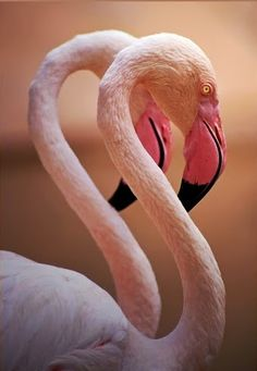Greater Flamingos (Phoenicopterus roseus)  like to choose a partner that looks just like themselves.  They do mate for life.