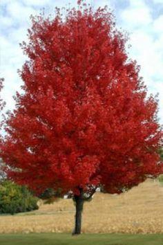 Height mature maple