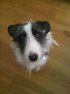 Humbug the wire haired jack Russell