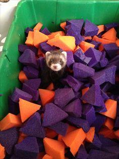Ferret foam pit - Cute but i reckon my ferrets would try to eat the foam....