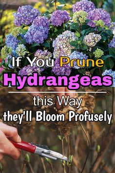 Pruning Hydrangeas is important to keep them healthy and growing while improving their flower production. Learn how to prune them correctly. Pruning Hydrangeas, Planting Flowers, How To Grow Hydrangeas, Flower Gardening, Garden Yard Ideas, Lawn And Garden, Garden Bed, Garden Tips, Outdoor Plants