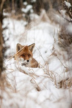 Red Fox by  Peter Binó