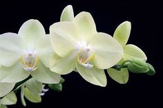 Phalaenopsis (moth orchid) grow well in centrally heated rooms and have long-lasting flowers produced all year round. They are one of the most popular indoor orchids. Moth Orchid, Phalaenopsis Orchid, Orchid Plants, Orchid Care, Indoor Orchids, Indoor Plants, Cactus, Popular Flowers, White Orchids