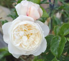 ~'William & Catherine' rose