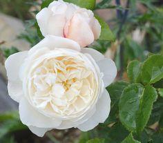 'William & Catherine' rose