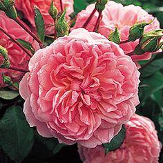 """Anne Boleyn"" repeat flowering shrub - gorgeous roses for floral arrangements"