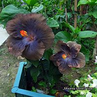 Taiwan Hibiscus - Linda Lee Blue Hibiscus, Taiwan, Vegetables, Fruit, Flowers, Plants, Gardening, Lawn And Garden, Vegetable Recipes