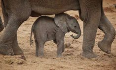 Baby Animals From : – Mommy frame . For info about promoting your elephant art … Elephant Love, Elephant Art, African Elephant, Elephant Gifts, Elephant Images, Baby Elephant Pictures, Nature Animals, Animals And Pets, Wild Animals