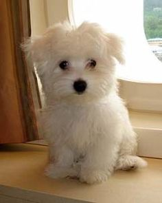 Dog profile for Indy, a female Coton de Tulear