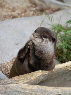 Jul 2019 - Via uso_otter Otters Cute, Baby Otters, Cute Funny Animals, Cute Baby Animals, Zoo Animals, Animals And Pets, Axolotl, Otter Pup, Otter Love