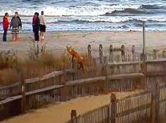 Family of foxes,  living in  Ocean City, by the Boardwalk ..leaping a beach dune fence. They are usually up at the north end of the Boardwalk,by Brown's Donut Shop.