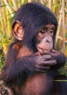 """""""Cute baby monkey"""" is a previous comment. This cutie is actually an ape, chimpanzee maybe. Primates, Mammals, Cute Baby Animals, Animals And Pets, Funny Animals, Animal Babies, Funny Cats, Monkeys Animals, Farts Funny"""