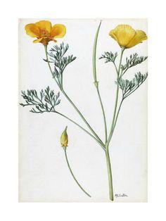 A Sprig of California Poppy Giclee Print
