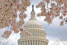 What are the Major Annual Events on the National Mall?: National Cherry Blossom Festival