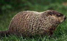 Groundhog - have one of these chubbers living under my ...