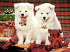 Two Christmas Puppy Wallpaper Christmas Puppy, Christmas Animals, Christmas Cats, Merry Christmas, Christmas Presents, Country Christmas, Christmas Time, American Eskimo Dog, Cute Puppies
