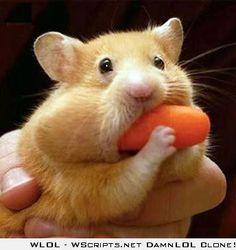 Hamster http://pinterest.com/nfordzho/lovely-animals/