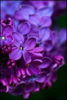 Lilacs by priyaswtc, via Flickr
