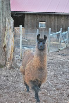 Guard Llama, Gumby, at Summer Brook Valley Farm, Middletown, Ct. Born at Warm B Acres in Albion New York