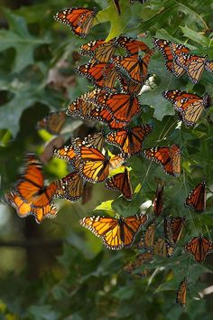 Butterfly group on leaves, orange, yellow, black.