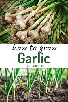 Garlic is a very easy crop to grow, you start it in the fall and wait until summer to harvest. Here's our complete guide on how to grow garlic. Autumn Garden, Easy Garden, Garden Ideas, Garden Bed, Herb Garden, Garden Plants, Gardening For Beginners, Gardening Tips, Vegetable Gardening